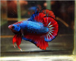 Male Red of Blue Plakat